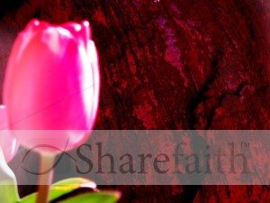 Bright Pink Rose Photo