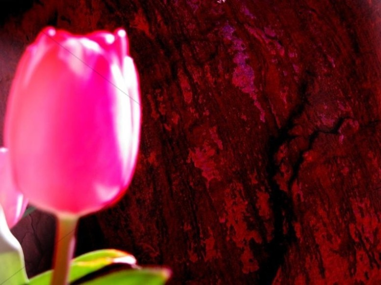 Bright Pink Rose Photo