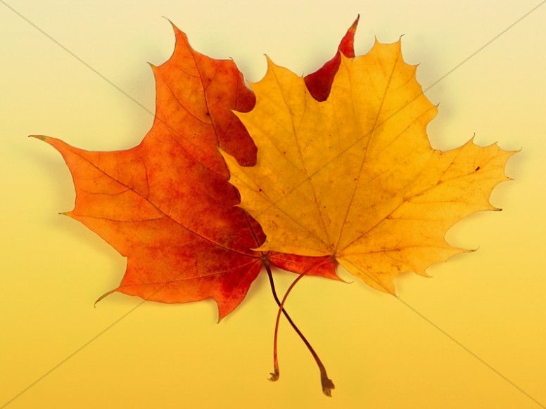 Maple Leaves Church Background Image