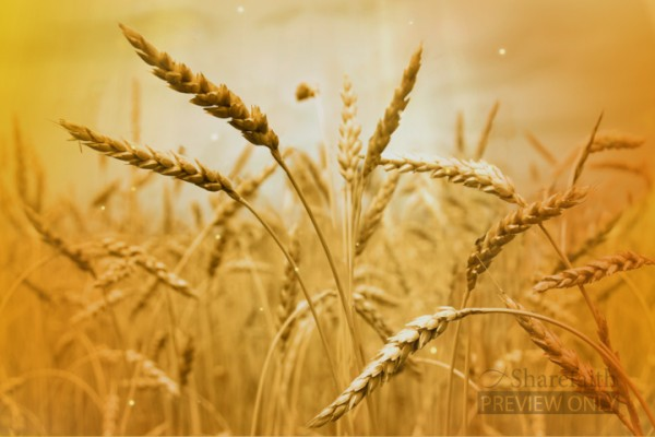 Wheat Field Background Video