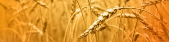 Wheat Email Banner
