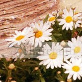 Mothers Day Daisy Email Image