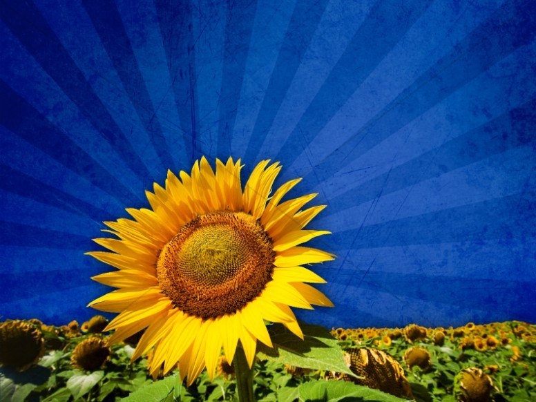 Sunflower Picture Worship Background