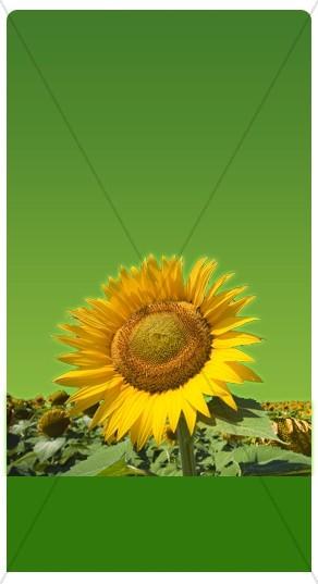 Sunflowers Banner Widget