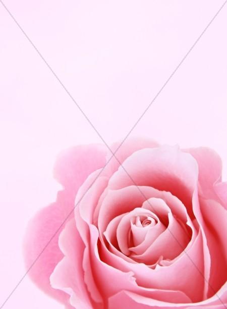 Rose Flower Christian Stock Images