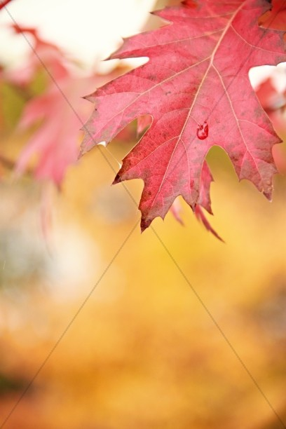 Maple Leaf Religious Stock Images