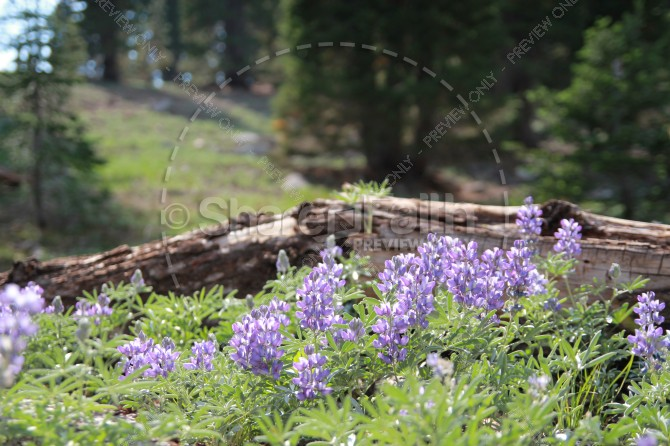 Forest Lilacs Christian Stock Image