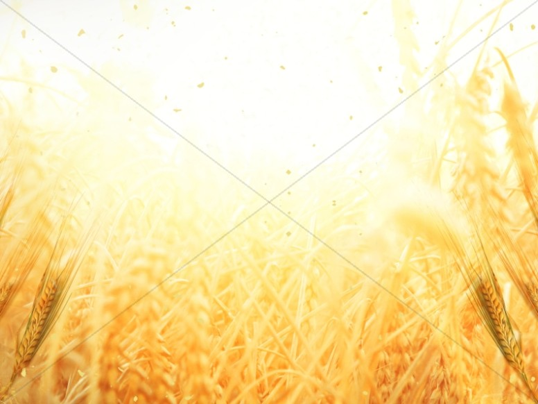 Golden Grains Harvest Worship Background