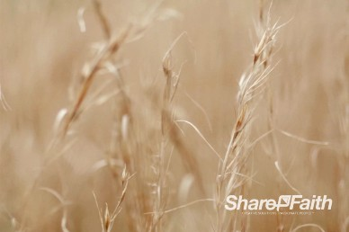 Wheat Stalks Worship Video Background