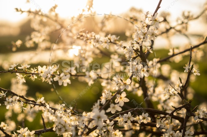 Cherry Blossoms in Bloom Ministry Stock Photo