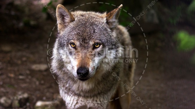Wolf Predator Religious Stock Photo