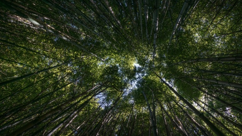 Bamboo Forest Treetops Religious Stock Photo