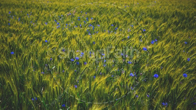 Lavender Field of Flowers Religious Stock Photo