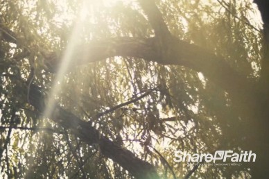 Sunlight Through Tree Branches Christian Motion Background