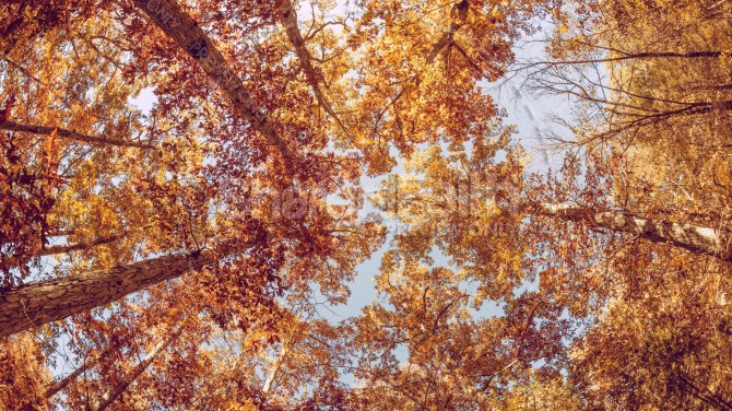 Fall Trees from Below Christian Stock Photo