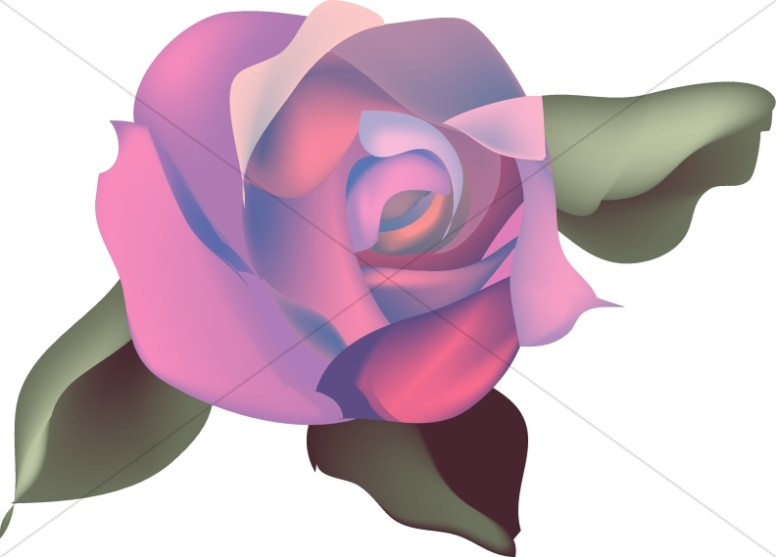 Pink and Purple Rose Blossom