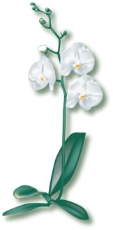 White Orchid Begins to Blossom