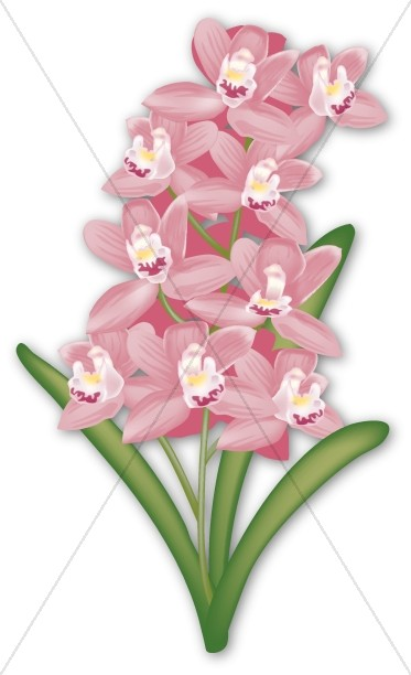 Pink Cymbidium Orchid for Tropical Event