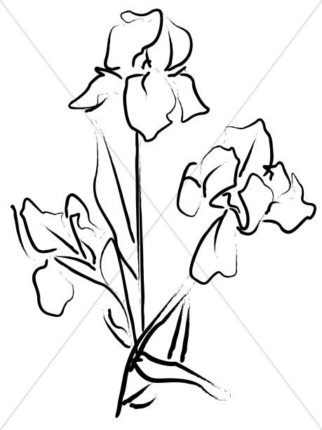 Elegant Iris Sketch