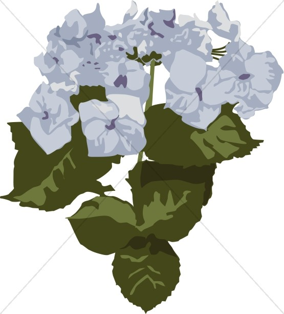 Close Up of Blue Hydrangea Blooms