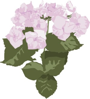 Pink Hydrangea Blooms
