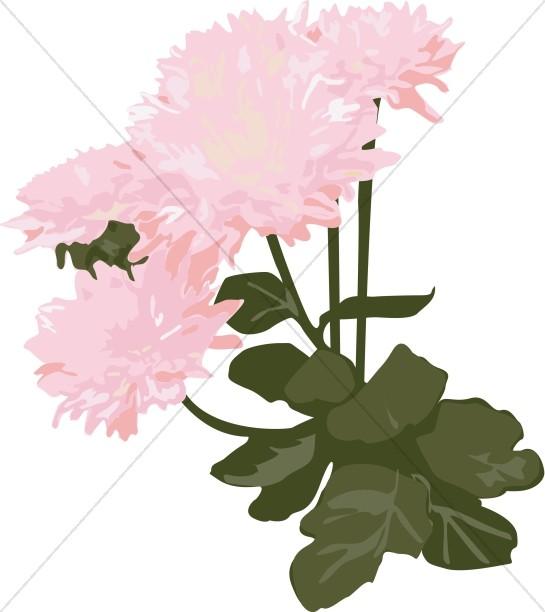 Pink Mums in the Garden