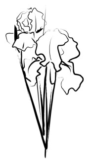 Iris Bouquet Sketch