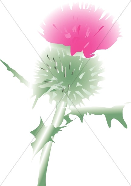 Pink Scottish Thistle Blossom