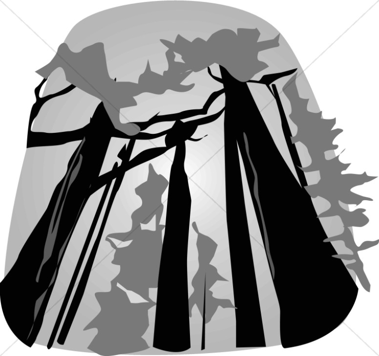 Black and White Towering Redwoods