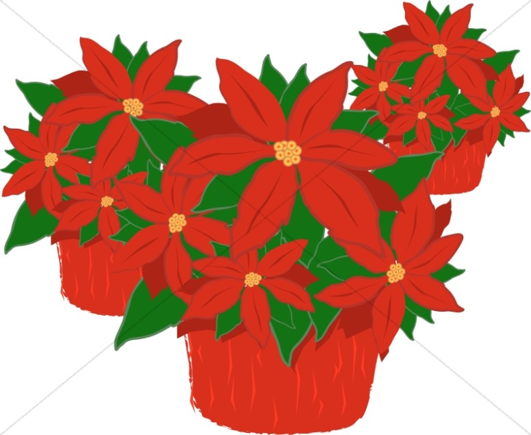 Trio of Poinsettia Plants