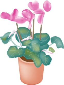 Potted Cyclamen Orchids