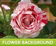 Free Stock Photo Flower