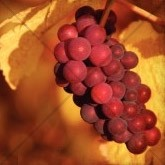 Ripe Grapes on the Vine Email Image