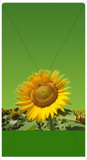 Sunflowers Banner Widget