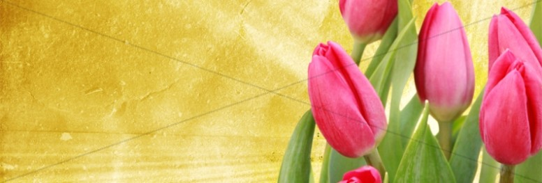 Pink Tulips Website Banner