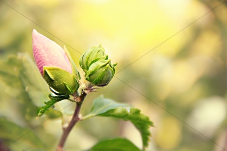 Rose Bud Christian Stock Photos