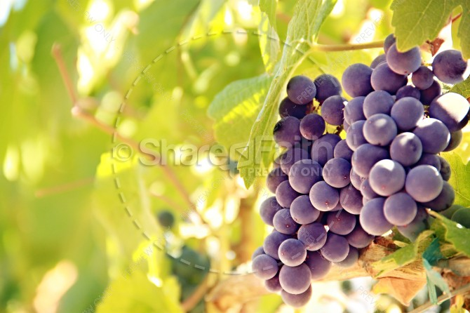 Vineyard Christian Stock Images