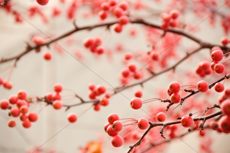 Red Berries Christian Stock Images