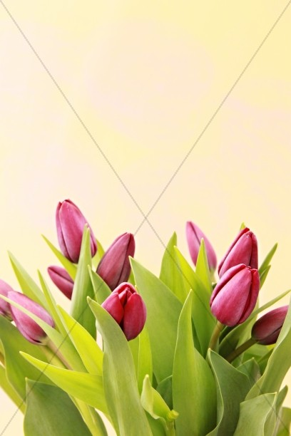 Tulips Church Stock Photos