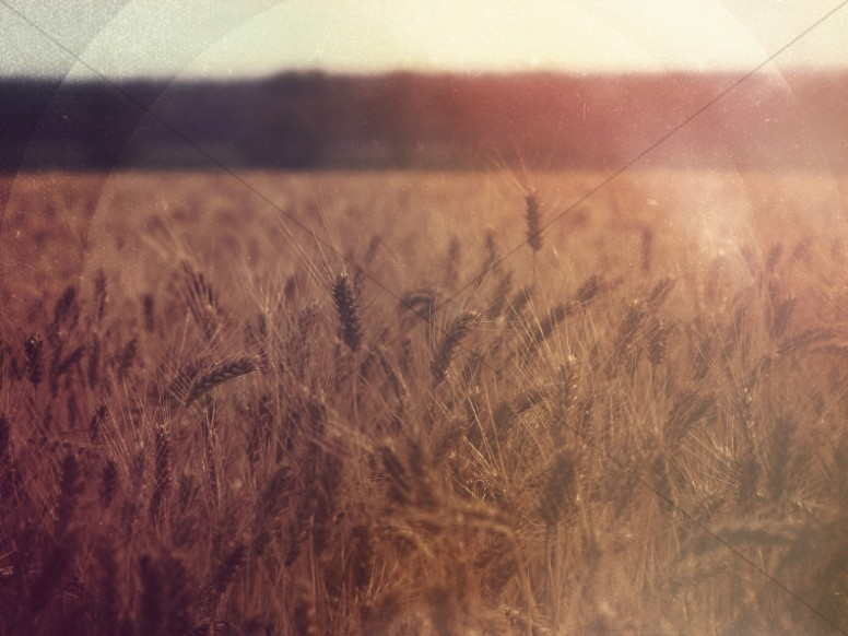 Field of Wheat Worship Background