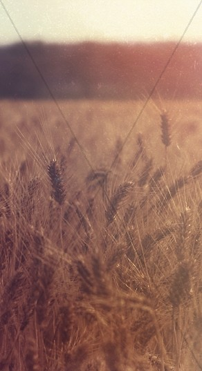 Wheat Field Web Sidebar