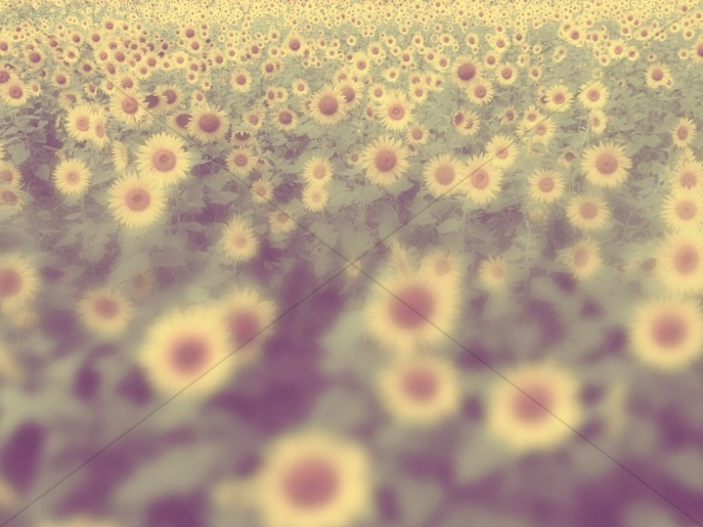 Fields of Sunflowers Religious Stock Image