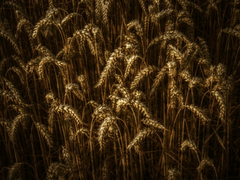 Waves of Grain Christian Stock Photo