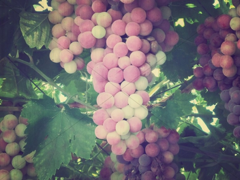 Grapes on the Vine Religious Stock Photo