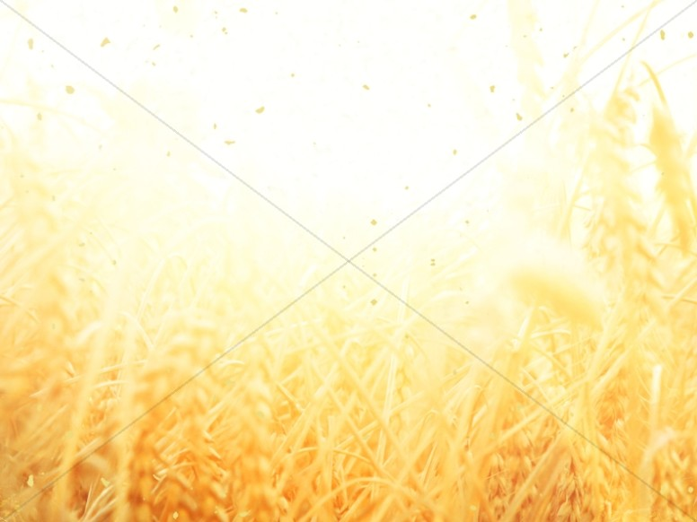 Golden Grains Harvest Church Background