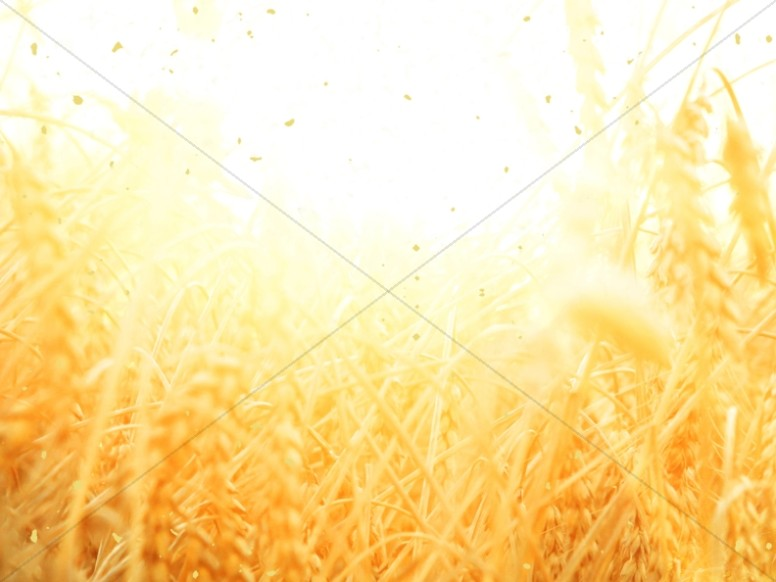 Golden Grains Harvest  Church Wallpaper
