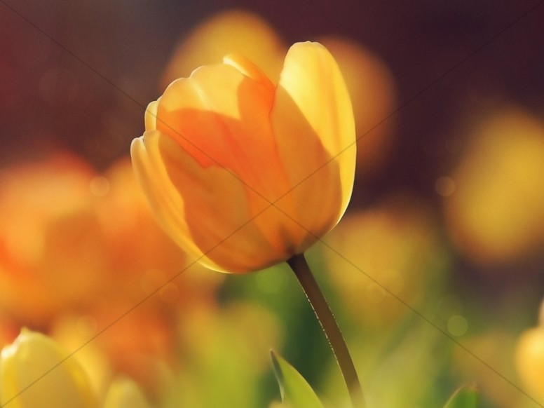 Yellow Tulip Church Worship Background