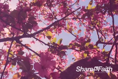 Cherry Blossom Church Worship Video Loop