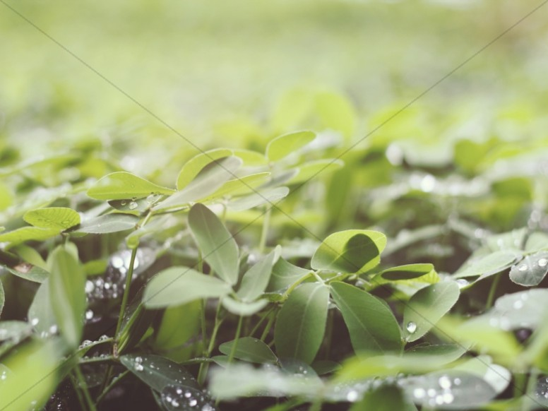 Water Drops on a Clover Field Worship Background