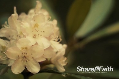 White Cherry Blossom Tree Church Video Background Loop